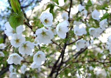 Sakura_imgp5044