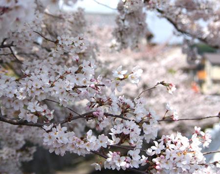Sakurawatari_020