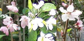 Floweratapple